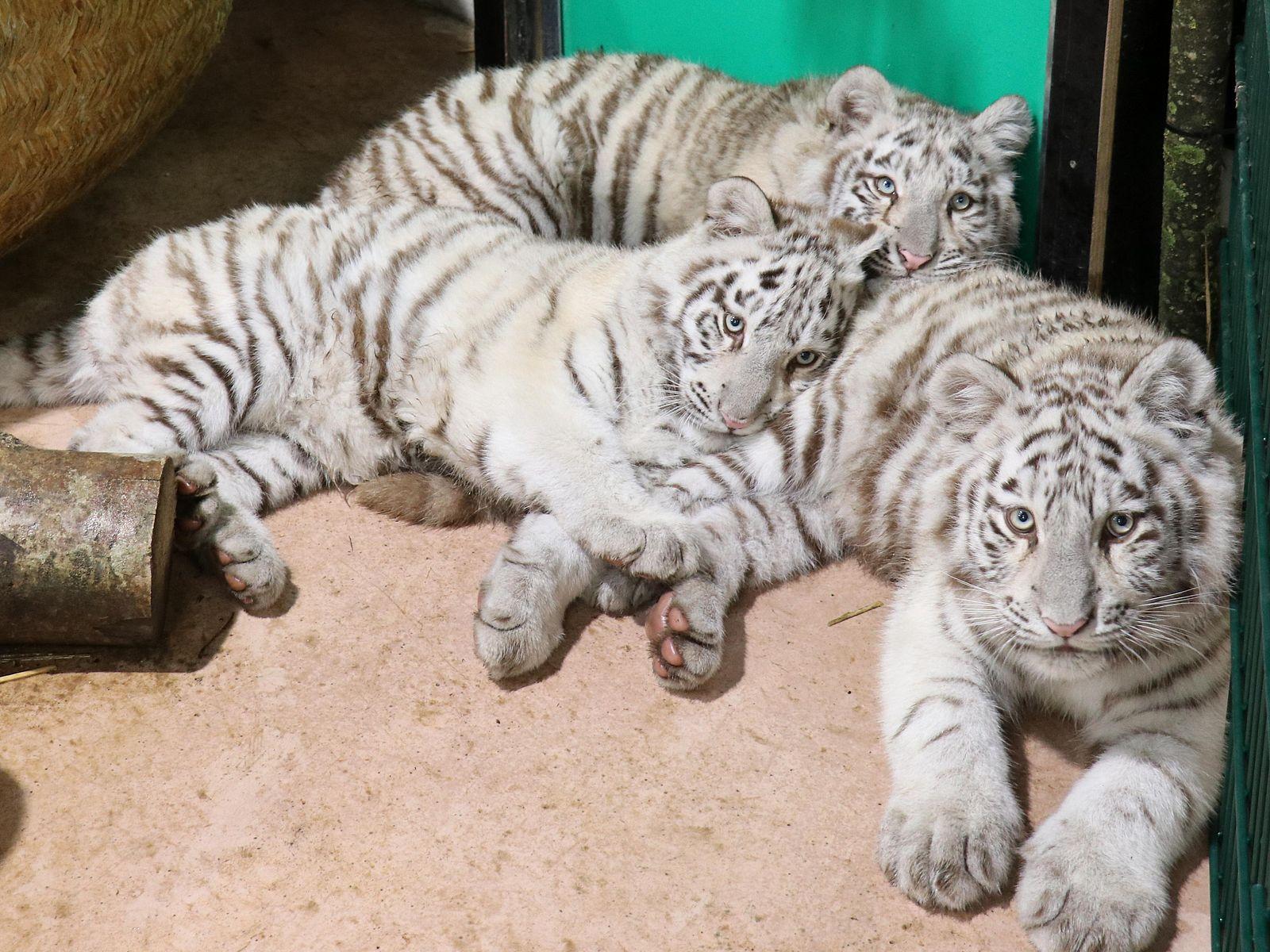 Drei Junge Weisse Tiger Ziehen Ein
